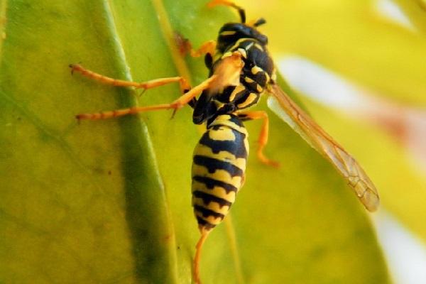 Estudo desvenda como veneno de vespa de origem brasileira mata célula de câncer